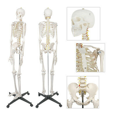 "70.8"" Life Size Skeleton Advanced Anatomical Human Anatomy Medical Model Stand"