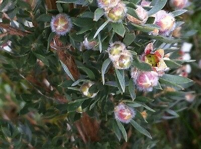 WOOLLY TEA-TREE (Leptospermum Lanigerum) Seeds