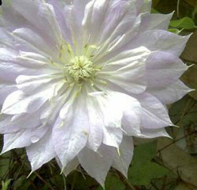 Clematis Duchess Of Edinburgh Climbing Plant