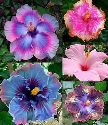 100pcs Exotic Hibiscus Blue Coral Flower New Seeds Pink Color Gardening Giant