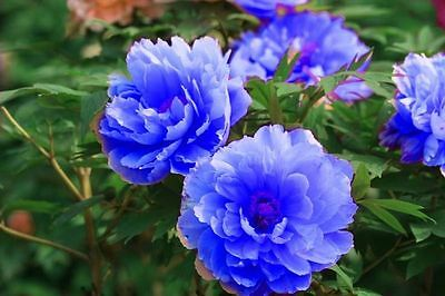Perennial Peony Tubers - Chinese Rare Double Blue - Unique, Fragrant - 2 Tubers
