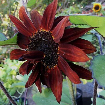 50 Seeds Sunflower Red / Flower to cut