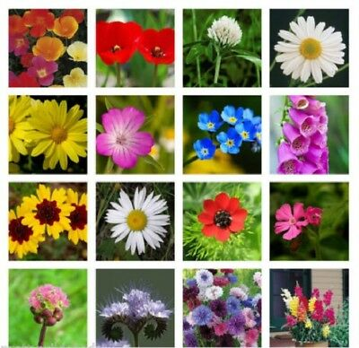 MEADOW WILD FLOWER BUTTERFLY & BEE MIX 16,000 SEEDS poppy cornflower oxeye daisy