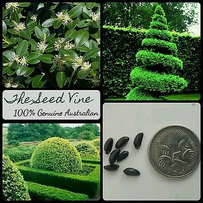 10 ENGLISH BOXWOOD SEEDS (Buxus sempervirens) Popular Hedge Hardy Decoration