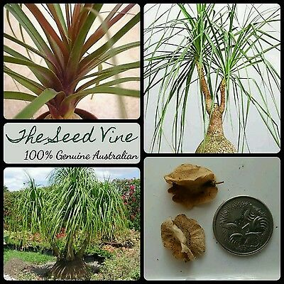 10 RED PONYTAIL PALM SEEDS (Beaucarnea guatemalensis) Ornamental Indoor Hardy
