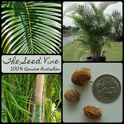 5 ARECA PALM SEEDS (Dypsis lutescens) Bamboo Tropical Indoor Ornamental Africa