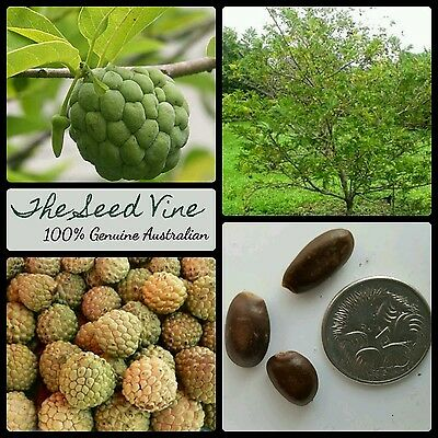 10 ORGANIC CUSTARD APPLE SEEDS (Annona squamosa) NON GMO Sugar Apple Tree
