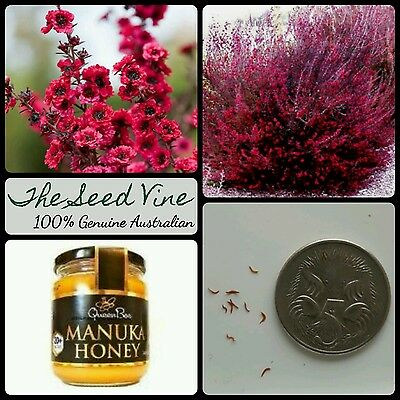 50+ MANUKA TEA TREE SEEDS (Leptospermum scoparium) Manuka Honey Myrtle Medicinal