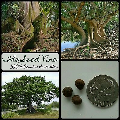 10 KAPOK TREE SEEDS (Ceiba pentandra) Amazon Tropical Indoor Bonsai Medicinal