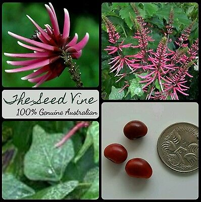 10 AMAZON CORAL TREE SEEDS (Erythrina amazonica) Tropical Ornamental Flower