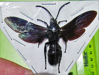 Beautiful Iridescent Wasp Hymenoptera sp. Male Spread FAST SHIP FROM USA