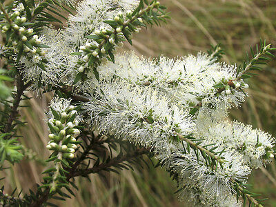 BLACK TEA-TREE 'MOONAH' (Melaleuca Lanceolata) Seeds