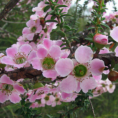 PINK TEA-TREE (Leptospermum Erubescens) Seeds