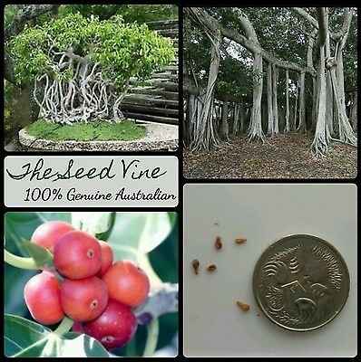 100+ INDIAN BANYAN FIG TREE SEEDS (Ficus benghalensis) Sacred Shade Huge Bonsai