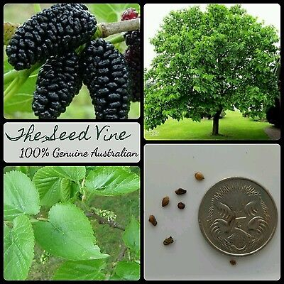10+ BLACK MULBERRY TREE SEEDS (Morus nigra) Edible Fruit Sweet Shade Popular