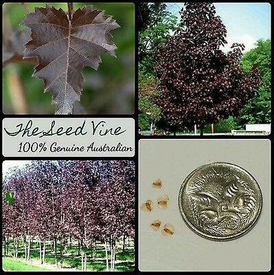 10+ PURPLE LEAF BIRCH TREE SEEDS (Betula purpurea) Beautiful Popular Deciduous