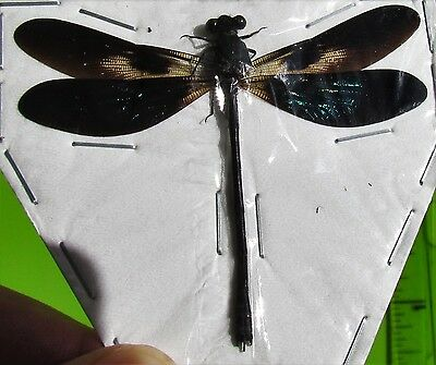 """Real Iridescent Wing Dragonfly Odonates sp. Spread 2 1/4"""" FAST SHIP FROM USA"""