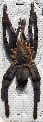 "Cobalt Blue  Tarantula Haplopelma lividum Female 5"" + Spider FAST FROM USA"