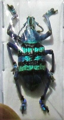 Magnificent Snout Beetle Eupholus magnificus FAST SHIP FROM USA