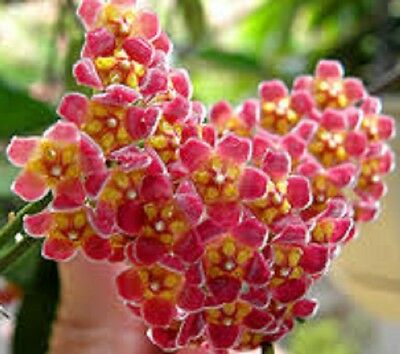 Hoya GRACILIS Collection No 41 fragrant cascading flowering plant in 80mm pot