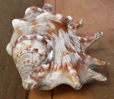 Vintage Brown Gray Conch Sea Shell Home Decor Ocean Beach