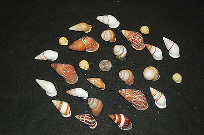 "Set of 25 Assorted Land Snail Shells 1/2"" To 2"" LS-1"