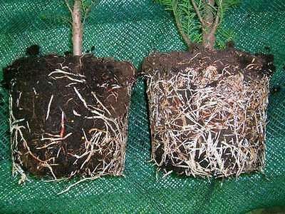 KORNEVIN Magic Gowth of root system 5 packs x 10 gr.