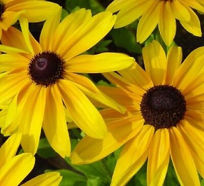 6 x Rudbeckia Beckie hardy large yellow flowers plants - seedling punnet