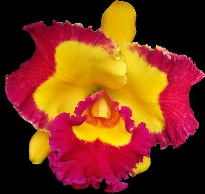 Cattleya BLC. VILLAGE CHIEF 'ROSE' seedling orchid plant in 80mm pot