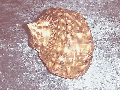 Large Green Turbo Marmoratus Shell For Nautical Decor Or Hermit Crab