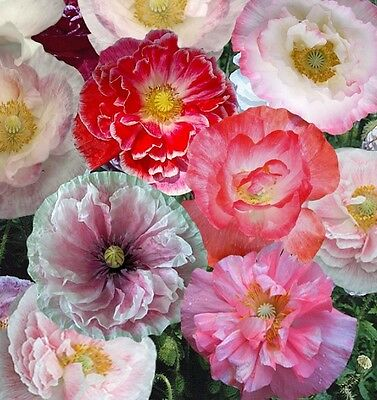 F0392 Poppy Shirley Double Mix x1000 seeds Annual Colour Flower Mix