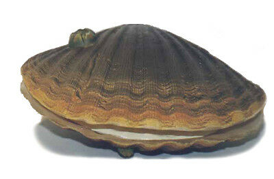 AAA 95804 Large Scallop Mollusc Sea Shell Sealife Toy Shellfish Replica - NIP