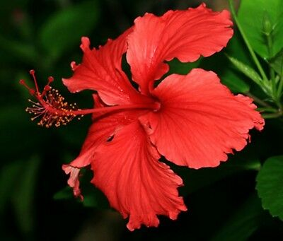 Hibiscus Andersonii x1 young plant/seedling, Not for NT