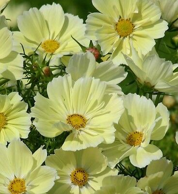F0167 Cosmos Sunset Yellow x25 seeds