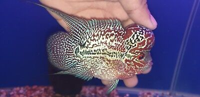 "24k gold big kok masterpiece flowerhorn cichlid 6"" (live fish) pictured louhan"