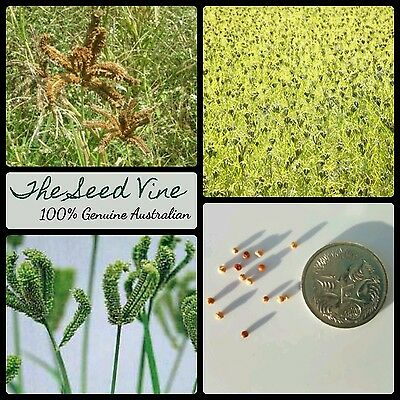 100+ RED FINGER MILLET SEEDS (Eleusine coracana) - African Edible Fast Growing