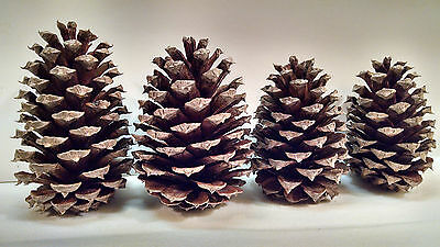 10 Georgia Pine Cones Natural Arts Crafts Firestarters Wedding Home Decor Brown