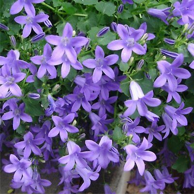 NEW CAMPANULA  | Trailing bellflower - Blue Botanex Botanex