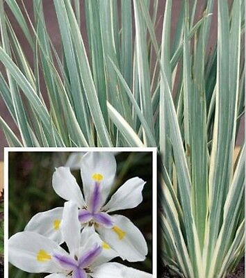 WHITE TIGER Dietes iridiodes variegated white-green hardy plant in 140mm pot