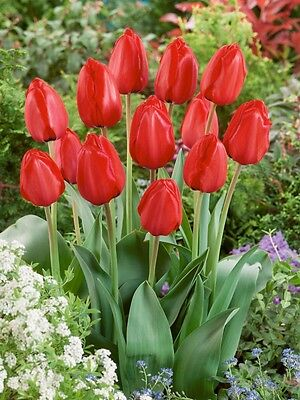 25 RED IMPRESSION,Tulip Bulbs,size: 12 cm/up, Now Shipping