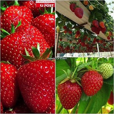 """25 STRAWBERRY """"TEMPTATION""""seeds; High yielding variety, Juicy fruit"""