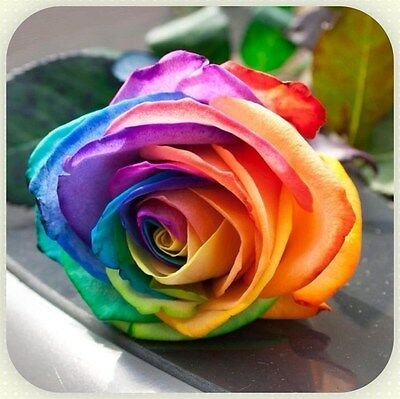 Fresh,100X Rare Rainbow Rose Flower Seeds Garden Plant*UK SELLER*