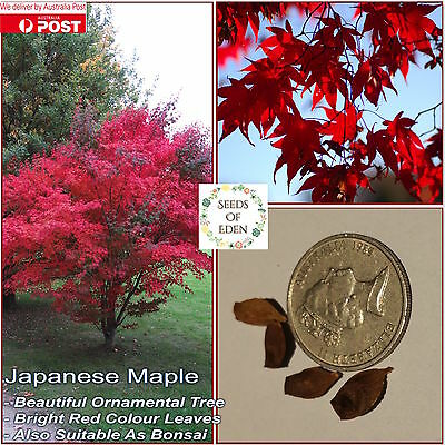 10 JAPANESE MAPLE SEEDS(Acer palmatum); Bright red maple leaves