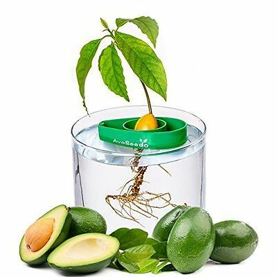AvoSeedo - Grow your own Avocado Tree, EverGreen, FREE EXPRESS ,