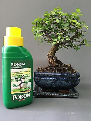 Chinese Elm Broom Style Bonsai Tree with Matching Ceramic Tray and Feed