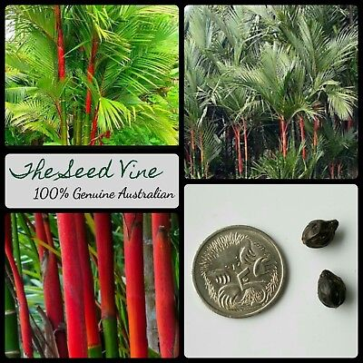 5 LIPSTICK PALM TREE SEEDS (Cyrtostachys renda) Red Tropical Indoor Plant