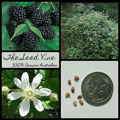 10+ ORGANIC BLACKBERRY SEEDS (Rubus ursinus) Edible California Berry Medicinal