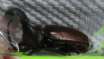 South American Rhinoceros Beetle Golofa eacus Male FAST SHIP FROM USA