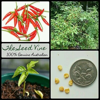 50+ ORGANIC BIRDS EYE CHILLI SEEDS (Capsicum annum) NON GMO Hot Spicy
