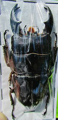 Large Black Stag Beetle Short Horn Dorcus alcides Male 70mm FAST SHIP FROM USA